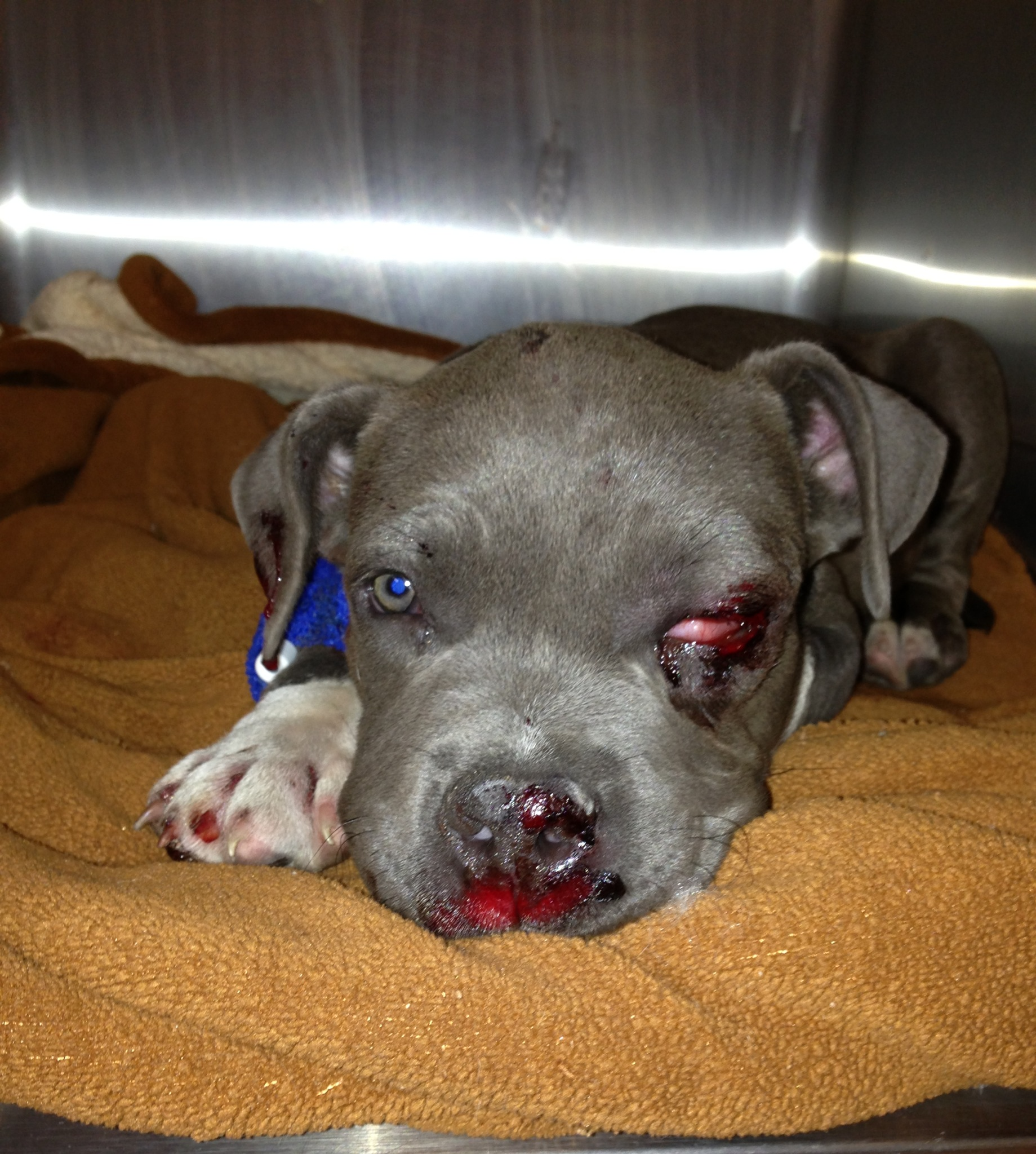 Cute baby pitbull dog